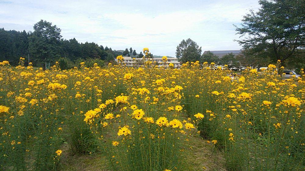 ヤナギバひまわりの開花状況
