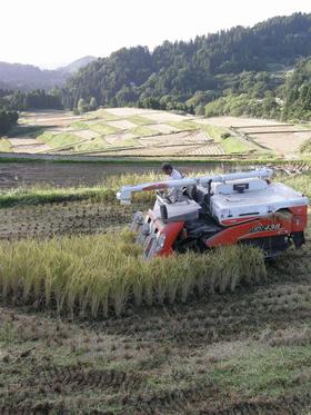 棚田での稲刈り