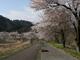 安塚リバーサイドロードの桜